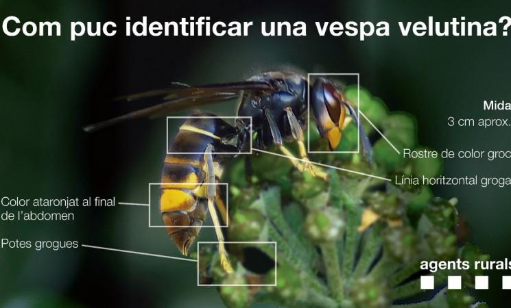 La vespa asiàtica. Informació i protocols d'actuació